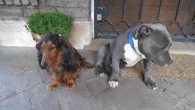 Suçunu İtiraf Etmemek İçin Arkadaşının Arkasına Saklanan Köpek