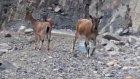 Yusufeli'nde Baraj işçilerinin Dağ Keçilerini Beslemesi