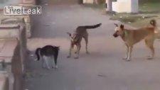 Tek Başına 7 Tane Köpeğe Posta Koyan Psikopat Kedi