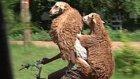 Koyunlarını Bisikletle Taşıyan Etiyopyalı Çoban