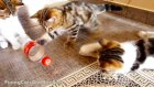 Kittens Playing BottleBall | Funny Cats