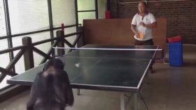 Maymun Ping Pong Oynarsa