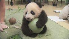 Yavru Panda Sarıldığı Topu Bir Türlü Bırakmıyor