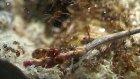 Hamamböceği Lavralarına Saldıran Karıncalar