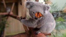 Film Çekiminde Kelebeğin Koalaya Photobomb Etkisi