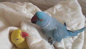 Yataktan Çıkmak İstemeyen Tembel Papağan