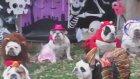 Cadılar Bayramı İçin Tam Tekmil Hazırlanmış Sevimli Köpekler
