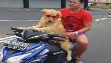 Motosiklet İle Sahibini Gezdiren Köpek