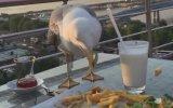 Akşam Yemeğine Dadanan Martı