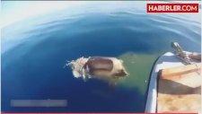 Denize Düşen İneği Köpek Balığı Yedi