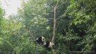 Sevimli Pandanın Ağaçtan İnme Mücadelesi
