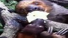 Tembel Hayvan Yemeğini Yarasaya Kaptırdı