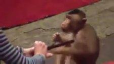 Sirk Maymununun Yürek Burkan Eğitimi