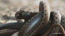 Tüm Dünyada olay yaratan İguanın Yılanlardan Kurtuluş Videosu.!