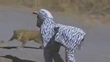 Zebra Kılığında Aslanların Arasına Dalmak