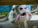 pişkin keçi :))