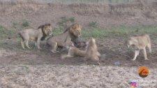 Buffaloyu Paylaşamayan Aslanların Feci Kavgası ve Sürpriz Son