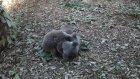 Tekme Tokat Birbirine Giren Koalalar