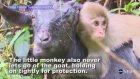 Keçiyi Annesi Gibi Gören Maymun