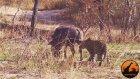 Yaban Domuzunun Ödünü Koparan Leopar