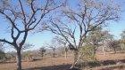 Ağaçtaki Maymunu Avlamayı Başaran Leopar