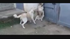 Anne Köpeğin Yavrularına Bulaşan Erkek Köpeğe Haddini Bildirmesi