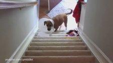 Yavru Köpeklerin Merdivenden İnemeyişleri