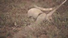 Afrika'da Farelerle Mayın Temizliği