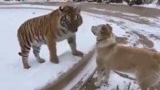 Kaplan Ve Köpeğin Dostluğu