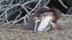 Eşini başka erkekle basan penguenin çıldırması