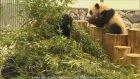 Yerçekimine Yenik Düşen Yavru Pandalar