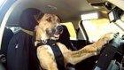 Dünya'nın İlk Otomobil Kullanan Köpeği Porter