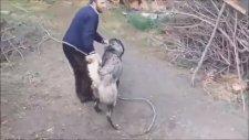 Bu Pitbull ve Kangal Köpekleri Dünyanın En Güçlü Hayvanları