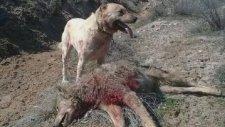 Kangal Vs Wolf İnanılmaz Dövüş (Mutlaka İzleyin)