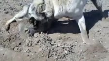 Kurt Boğan Kangal Köpeği