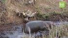 Avlanırken Hipopotatan Engeline Takılan Vahşi Köpekler