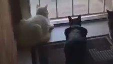 Haha Koptum Bu Kedilere