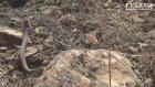 Ağrı Dağı'nda Görüntülenen Engerek Yılanı