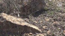 Ağrı Dağı'nda Görüntülenen Koca Engerek