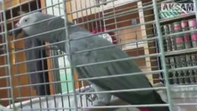 La İlahe İllallah Diyen Papağan