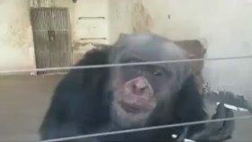 Efkarlı Maymun Arabesk Takılırsa