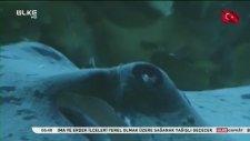 Katil Balina Büyük Beyaz Köpek balığını avlıyor