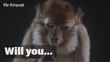 İngilizce Konuşan Maymun Simülasyon Kaydı