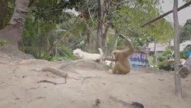 Köpeği Çılgına Çeviren Maymun