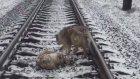 Tren Rayları Üzerinde Yaralı Arkadaşını Yalnız Bırakmayan Köpek