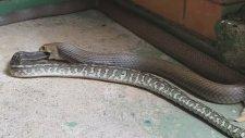 Avustralya'da Piton Yılanının Doğu Kahverengi Yılanını Yemesi