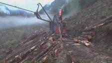 Koca Ağacı Anında Kesip, Temizleyip, Dizen Mega Makinalar