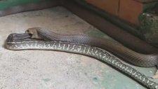 Piton Yılanının Doğu Kahverengi Yılanını Yemesi