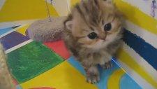 Dünya Tatlısı Yavru Kedi Videoları / Kitten Persian Cat