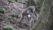 Geyikle Maymunun Seks Çabasındayken Yakalanması